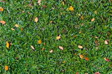 Free Green Grass With Some Orange Dry Leave Stock Photo - 31755340