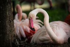 Free Flamingo Royalty Free Stock Images - 31757919