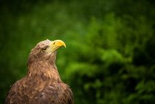 Free Eagle Royalty Free Stock Photography - 31758067