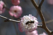 Free Plum Blossom Royalty Free Stock Photo - 31759245