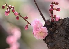 Free Plum Blossom Stock Photography - 31759262