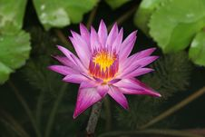 Free Lotus Stock Photography - 31759892
