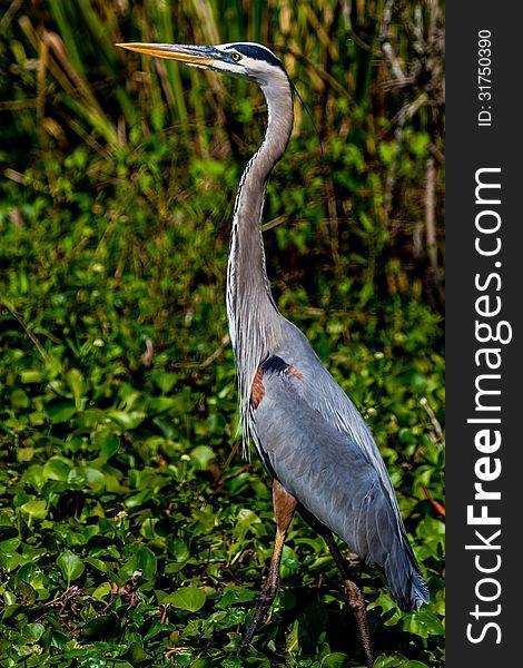 A Great Closeup Shot of a Wild Great Blue Heron &x28;Ardea herodias&x29; at 40 Acre Lake.  Texas.