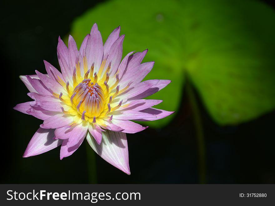 Tropical water lily and lily pad