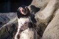 Free Peruvian Penguin Stock Image - 31760141