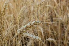 Free Wheat  Close-up Stock Photo - 31760560