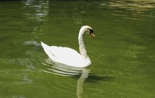 Free Swan Royalty Free Stock Images - 31770249
