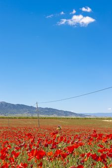 Field Of Poppies Stock Image