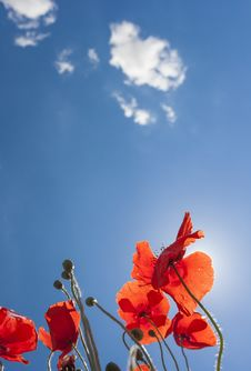 Free Angle Shot Of Poppies Royalty Free Stock Photo - 31773475
