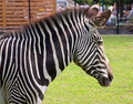 Free Portrait Of A Young Zebra Stock Photography - 31784572