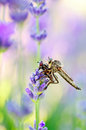 Free Robber Fly With Victim Royalty Free Stock Images - 31789799