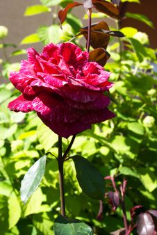 Free Red Rose In The Garden Royalty Free Stock Photos - 31785198