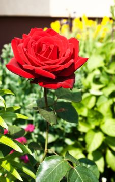 Free Burgundy Rose In The Garden Stock Photography - 31785202