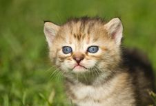 Free Kitten On  Grass Royalty Free Stock Photography - 31786517