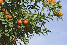 Free Orange Tree Royalty Free Stock Photo - 31786805