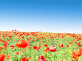 Free Poppy Flowers Against The Blue Sky Royalty Free Stock Photos - 31798208