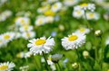 Free Daisies Stock Photo - 31798910