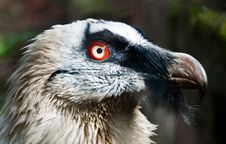 Free Beard Vulture Closeup Royalty Free Stock Photos - 31793358