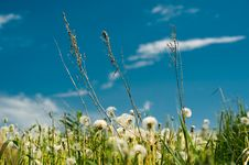 Free Dandelions Royalty Free Stock Image - 31794076