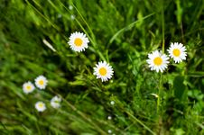 Free White Camomiles On A Meadow Royalty Free Stock Photo - 31794325
