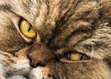 Shorthair Cat Portrait Stock Images