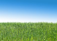 Free A Green Wheat Field Royalty Free Stock Photography - 31797737