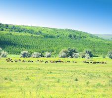 Free Cows On A Field. Royalty Free Stock Photo - 31797765