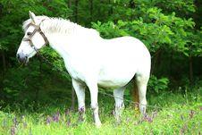 Free White Horse Stock Photo - 31797960