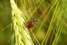 Free Beetle On A Spike In A Wheat Field Stock Photos - 31798133