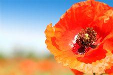 Free Poppy Close-up Stock Photos - 31798143
