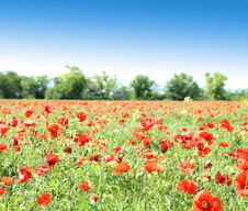 Free Poppy Flowers Against The Blue Sky And Trees Royalty Free Stock Photo - 31798245