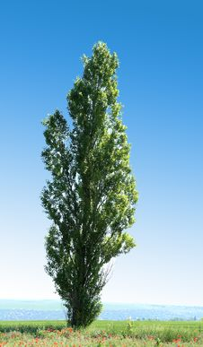 Free Lombardi Poplar Royalty Free Stock Images - 31798249
