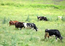 Free A Herd Of Cows On The Pasture Stock Photography - 31799422