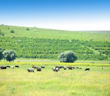 Free Cows In The Meadow. Stock Images - 31799584
