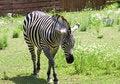 Free Zebra Royalty Free Stock Images - 3184799