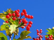 Free Red Guelder Rose Stock Photo - 3180070