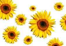 Free Sunflower Beauty Royalty Free Stock Photography - 3180257