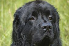 Free Newfoundland Royalty Free Stock Images - 3180459