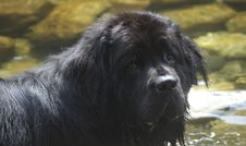 Free Newfoundland In A River Stock Image - 3180471