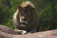 Free Sleepy Lion Stock Photo - 3180830