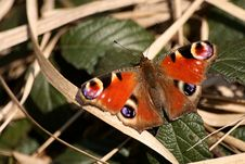 Free Butterfly Nymphalis Io Stock Photos - 3182533