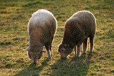 Free Twins - Sheep Stock Photography - 3182792