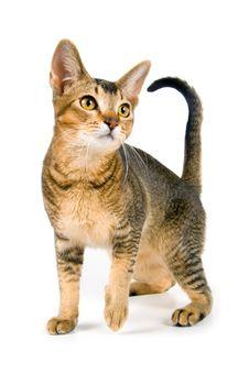 Free Kitten In Studio Stock Photography - 3182972