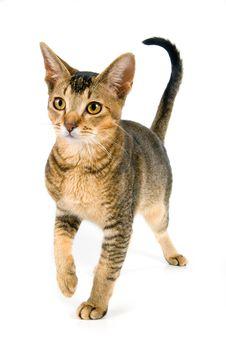 Free Kitten In Studio Royalty Free Stock Photography - 3182987