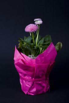 Free Pink Daisy Stock Image - 3183181