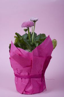 Free Pink Daisy Stock Photos - 3183313