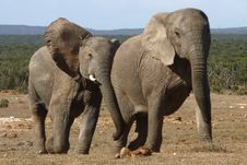 Free Young Elephants Chasing Stock Photo - 3183400