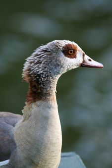 Free Duck In Belgium Royalty Free Stock Photos - 3183448