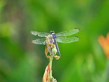 Free Big Blue Dragonfly Stock Photos - 3185313