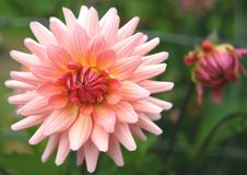 Free Pink Dahlia Bloom. Royalty Free Stock Image - 3186306